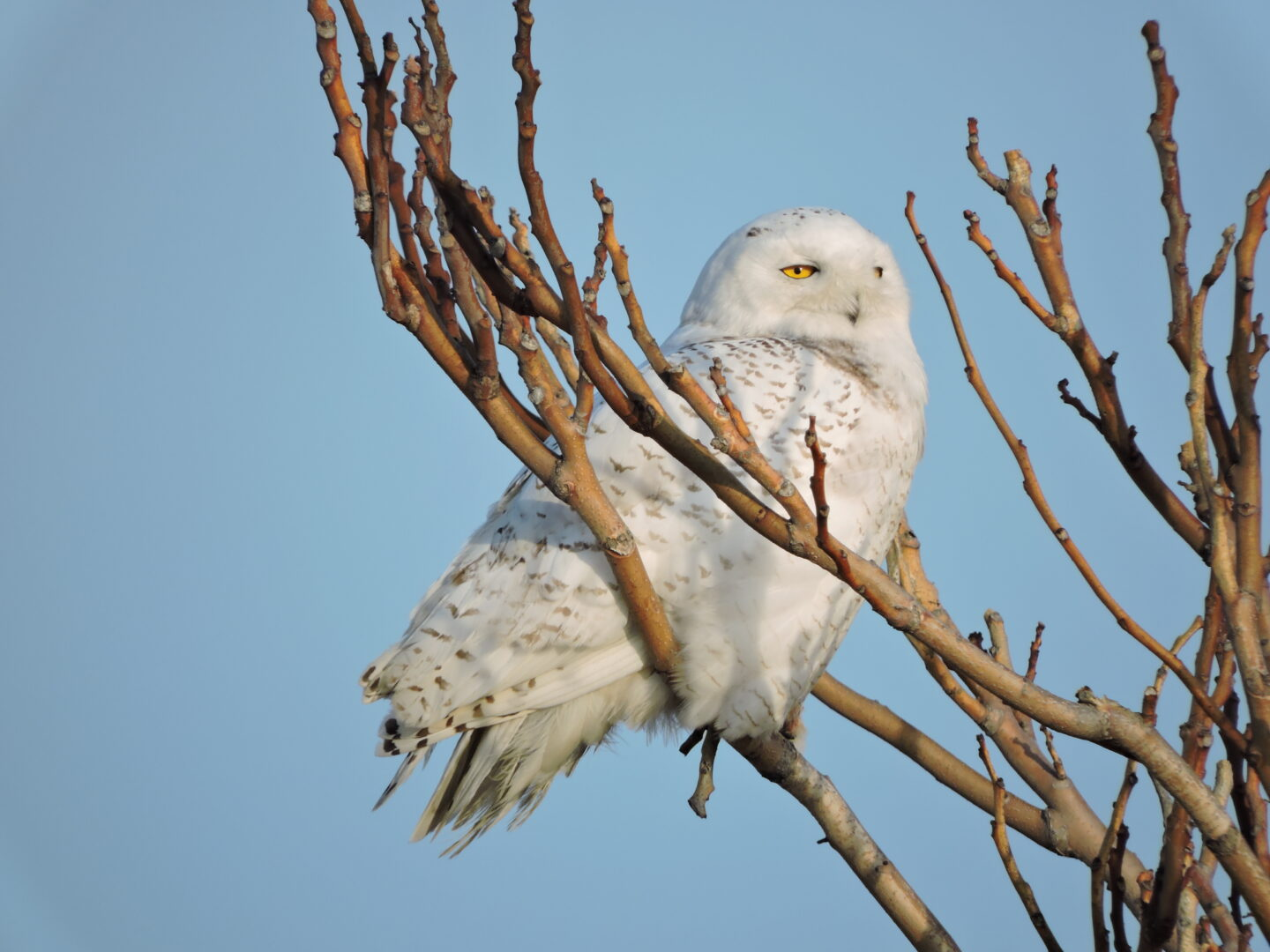 Oh hey!! Snowy Owl! Fancy seeing you here!!
