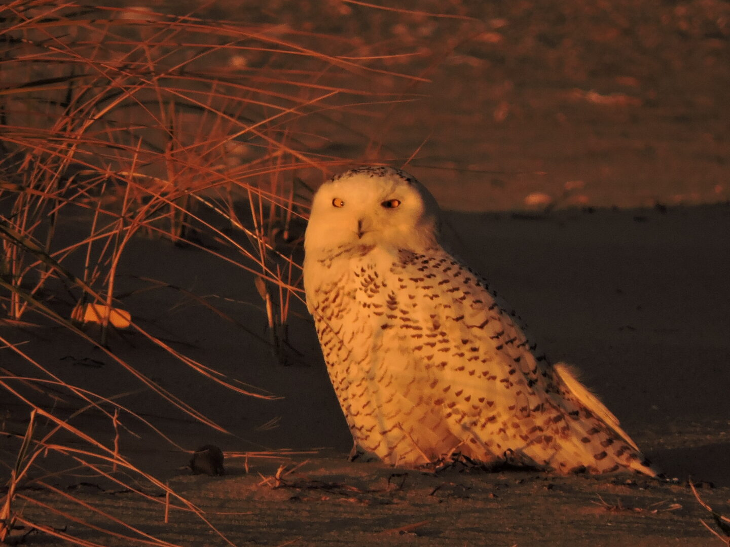 This Snowy Owl regurgitated a pellet and you can see it if you look closely!