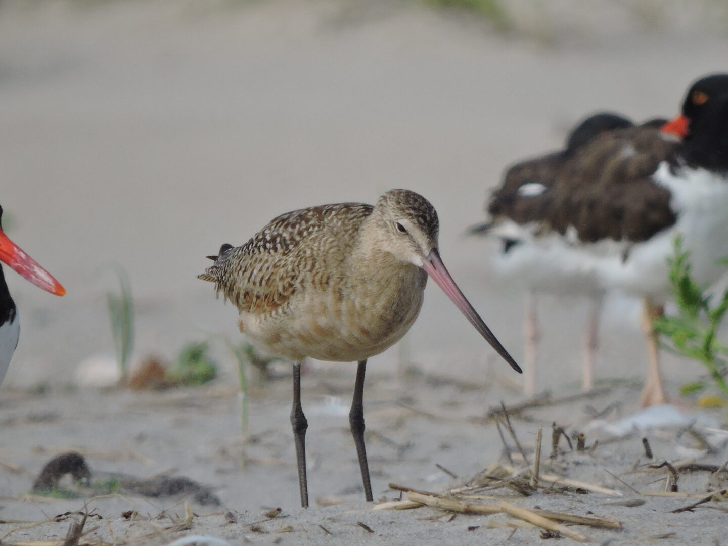 Thankfully, unlike Jerry Seinfeld I didn't have to do anything to unethical to secure a marbled rye..I mean marbled godwit!