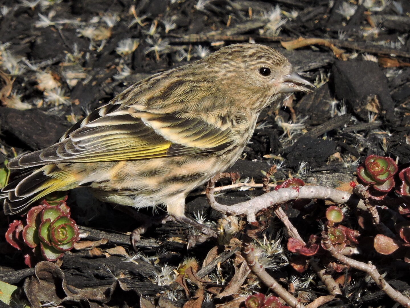I did enjoy seeing these pine siskins!
