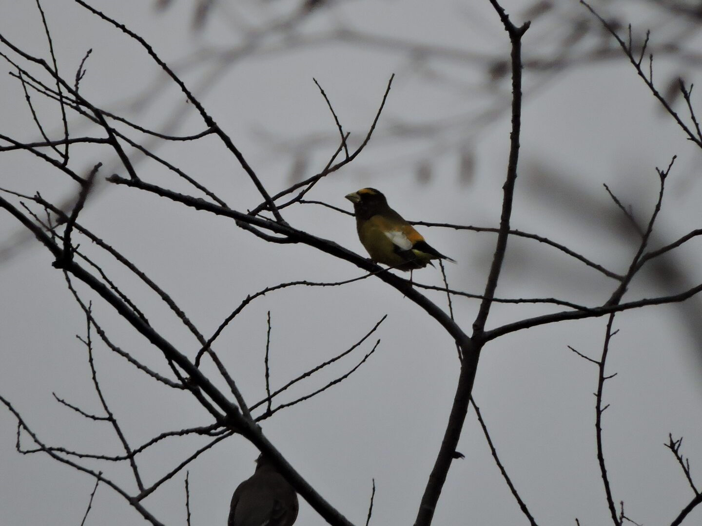Part two of this double whammy was this Evening Grosbeak!